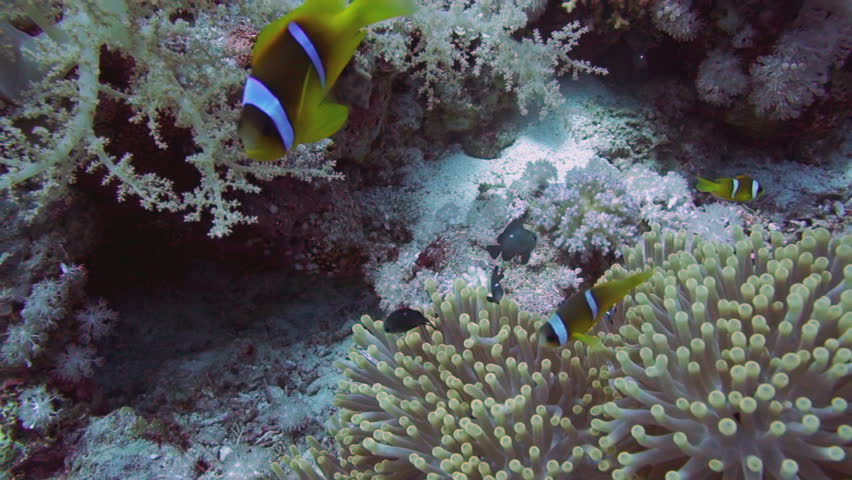 how to get clownfish to host anemone