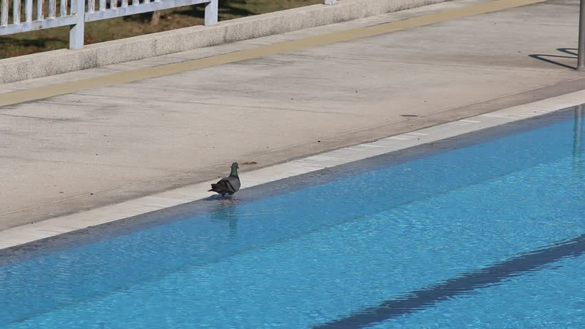 Pigeons Drinking Water From Swimming Pool Stock Footage Video 7433335 Shutterstock