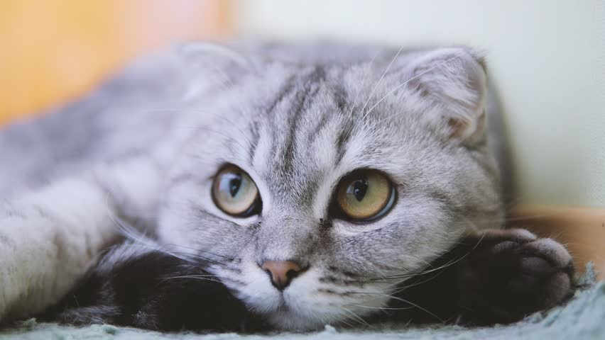 Scottish fold cat look around. Whisks color. | Shutterstock HD Video #8284915