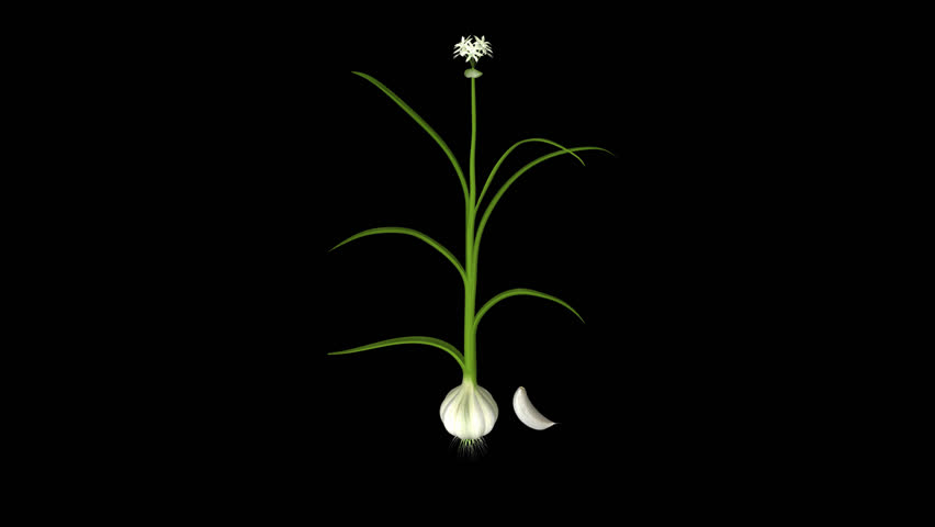 Header of Allium sativum