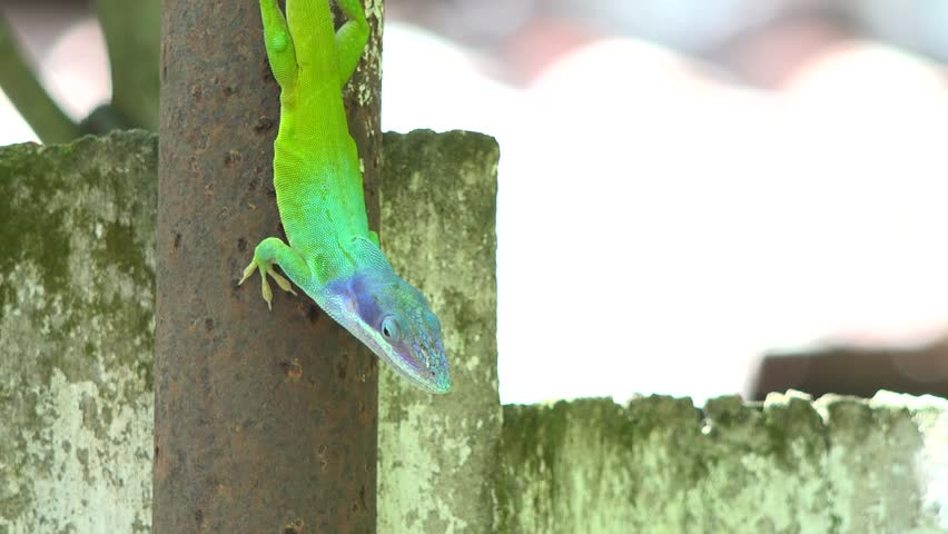 """Green and blue Chameleon / Cuban Knight Anole. Push-ups and head bobs, color change, display of colorful throat """"fans""""--that's how anoles communicate. - 4K stock video clip"""