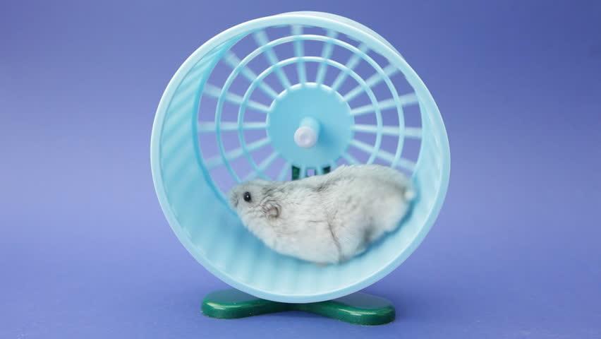 hamster running in wheel on blue background