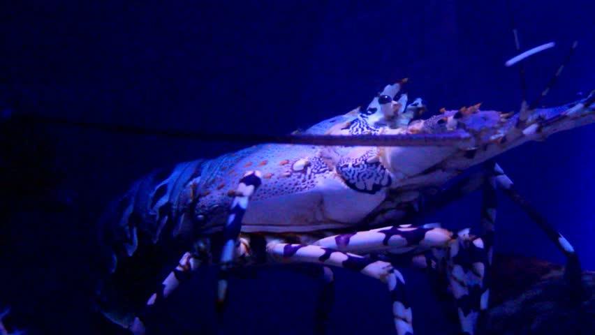 Lobster in the aquarium . Eilat. Israel