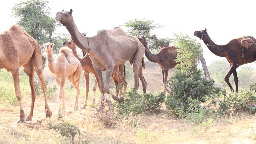 Camel at the Pushkar Fair ( Pushkar Camel Mela ) Rajasthan, India - HD stock video clip