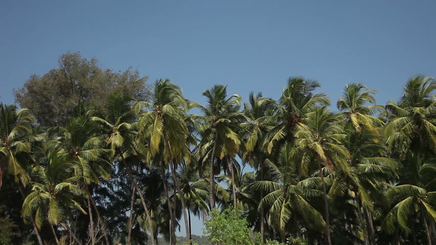 Palm trees swaying in the wind - HD stock video clip