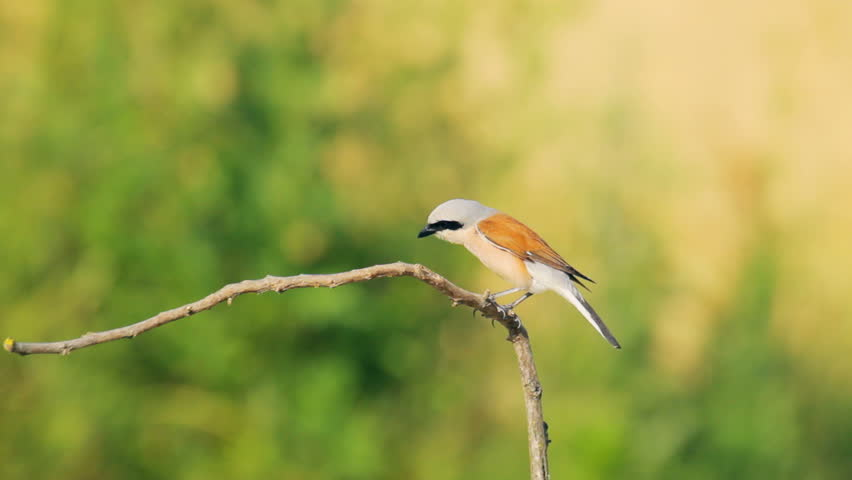 Red-backed shrike sitting on the branch in nature - HD stock video ... Group Of Colorful Birds