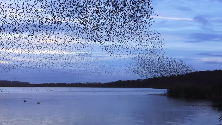 Murmuration flock of starlings on lake sundown nature background - Aqualate Mere, Staffordshire, England: November 2014 | Shutterstock HD Video #8519860