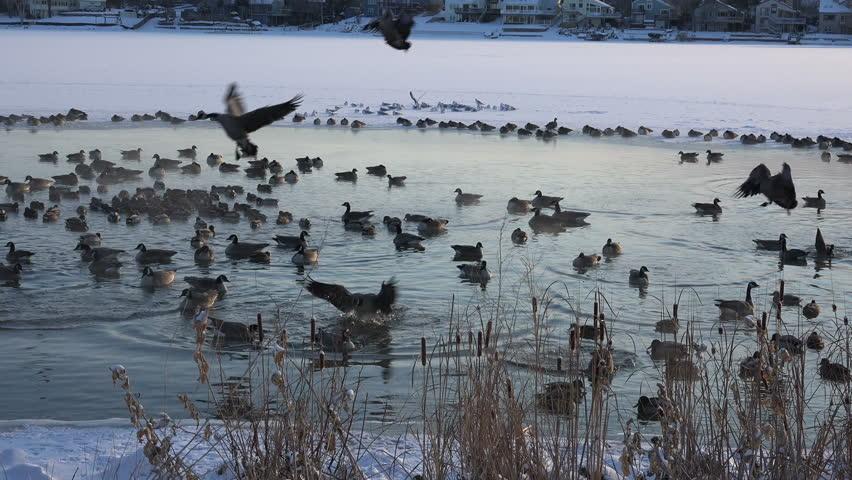 Geese Landing Shot/ Geese landing into hotspring caught on camera. - 4K stock video clip
