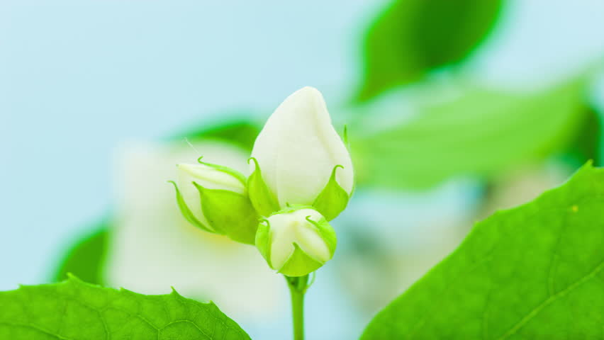 Jasmine flower (Murraya paniculata) blossoming timelapse video shot against a blue background. 4k video at 30 fps/Jasmine flower blosoming