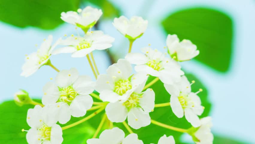 White jasmine flower blossoming timelapse video shot against a blue background. 4k video at 30 fps/White jasmine flower blossoming