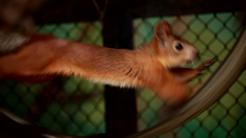 Squirrel in captivity. Squirrel diligently runs on a wheel. Animals in captivity.