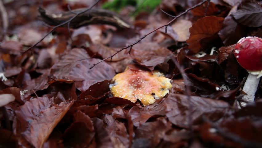 Slide shot of an Amanita Muscaria with Autumn leaves - HD stock video clip