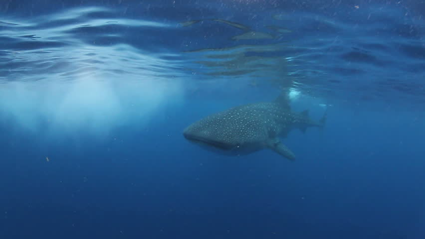Whale Shark - HD stock video clip
