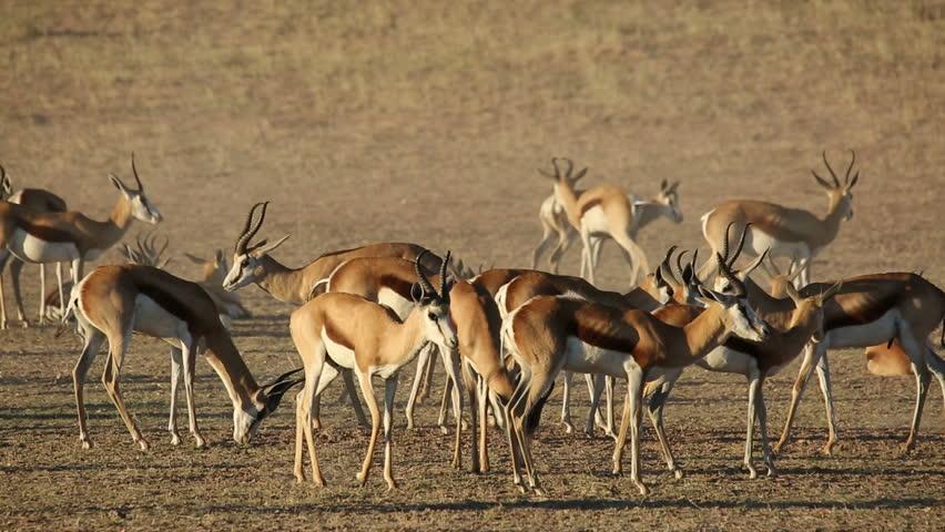 Herd of springbok antelopes (Antidorcas marsupialis), Kalahari desert, South Africa - HD stock footage clip