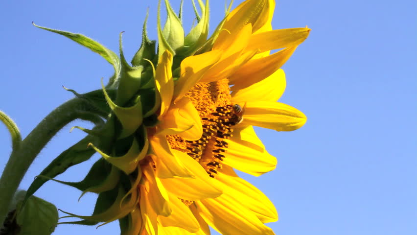 Sunflower bright yellow with bees gathering pollen against a clear blue sky. Closeup side view. Room for text.