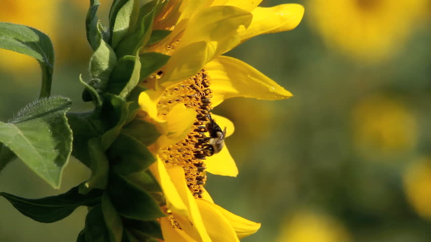 Sunflower with bee gathering pollen closeup, background of greens and yellow, room for text