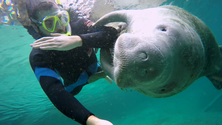 Manatee's playing | A bunch of manatees in the Banana ... |Manatees Playing