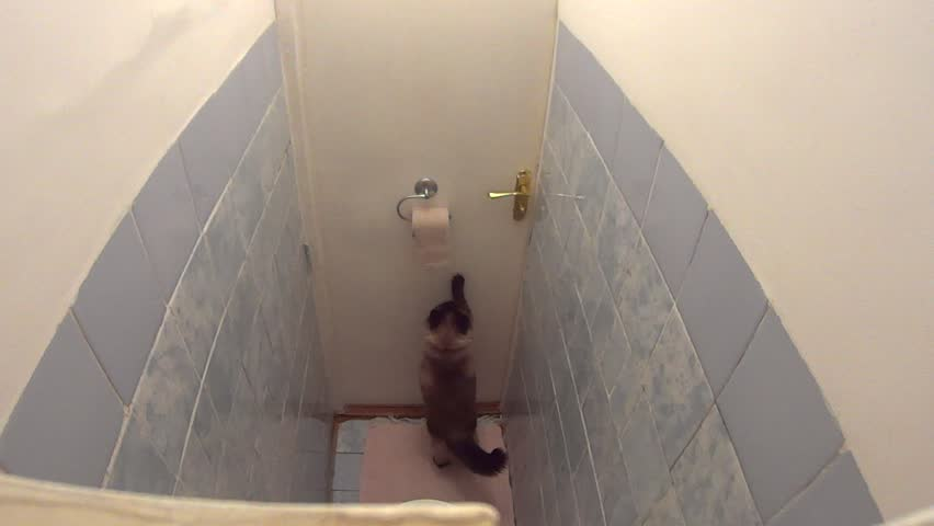 Active Burmese cat playing with toilet paper and quickly unrolling it in lavatory. Funny impatient pet dynamically trying to exit and energetically scratches the closed door.