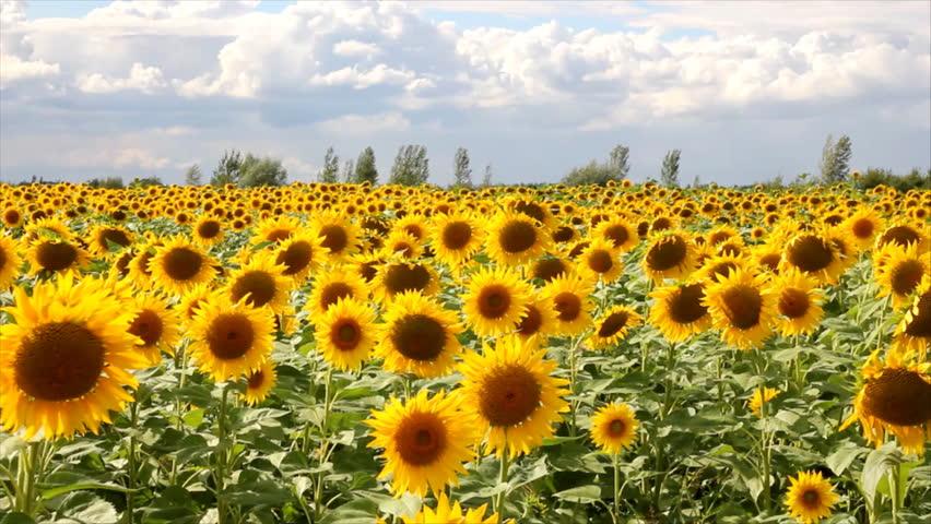 sunflowers definition meaning. Black Bedroom Furniture Sets. Home Design Ideas