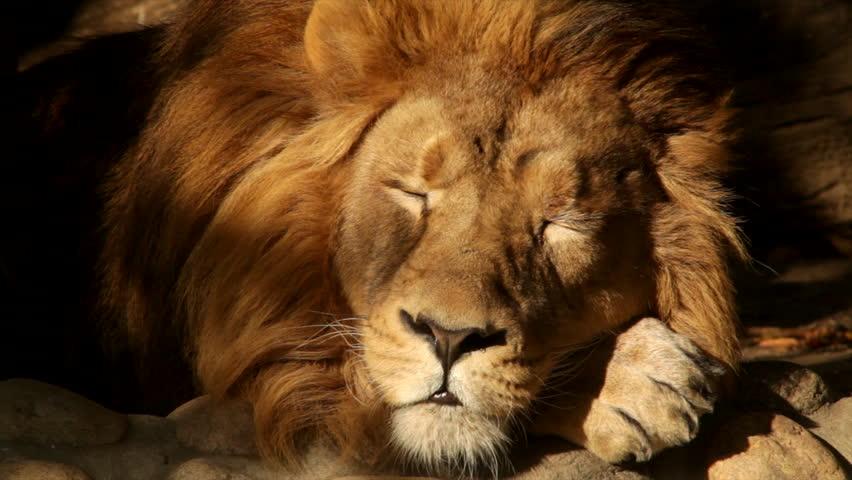 8k Animal Wallpaper Download: Beautiful Mature Lion Roaring At Zoo, Wildlife Reserve