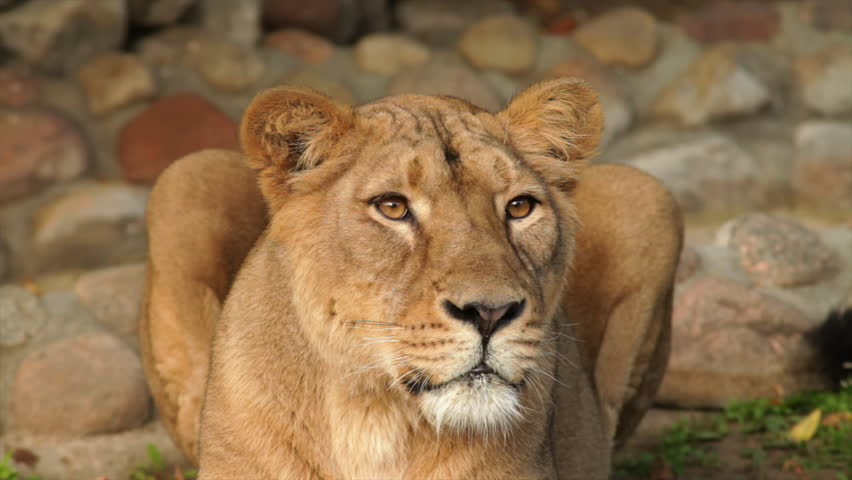Following look of picturesque lioness in sunset soft light on boulder background. Biggest cat of the world, horoscope and zodiac symbol close up. Amazing beauty of wildlife in excellent HD clip. - HD stock video clip