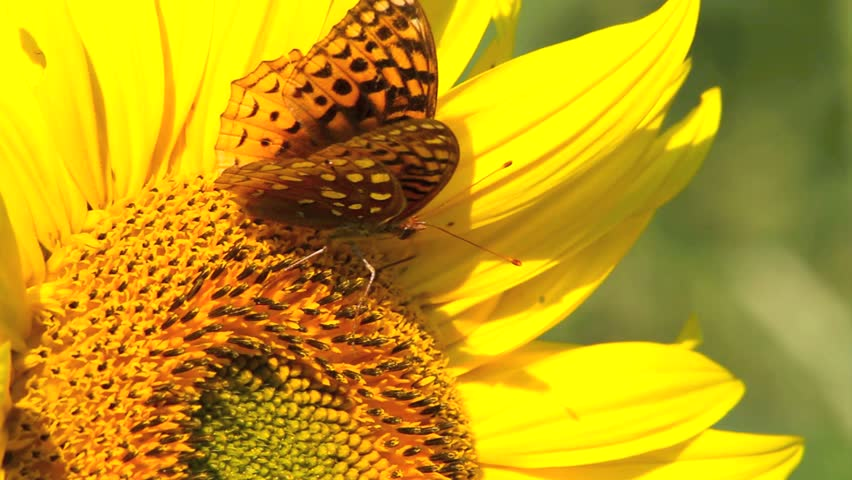 Butterfly , Silver Bordered Fritillary, gathers nectar from a sunflower. Closeup, butterfly's tongue curls and uncurls into flower.