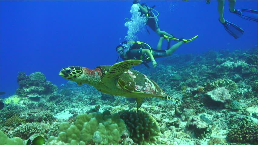 Turtle Swimming Underwater - HD stock footage clip