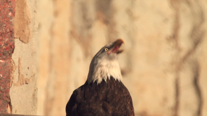 Call of excited bald eagle close up, haliaeetus leucocephalus, sitting on rocky background. American eagle, US national character. Excellent beauty of wildlife in the amazing HD cream toned clip.  - HD stock video clip