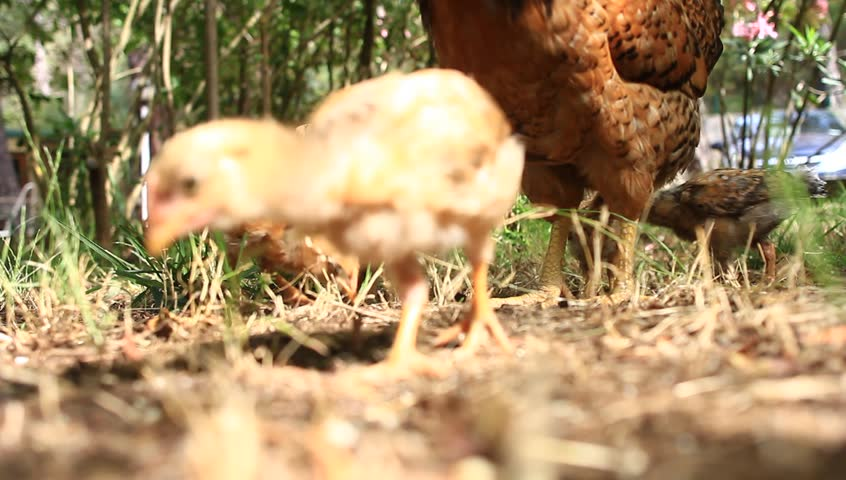 Closeup of a mother chicken with its baby chicks in grass. A group of pasture raised chickens peck for feed on the ground