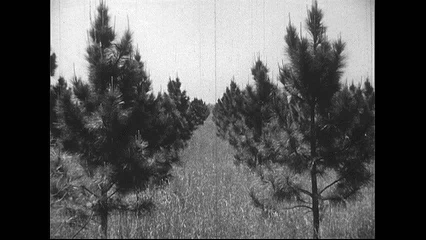 UNITED STATES 1940s: Tracking shot of rows of trees. - HD stock footage clip