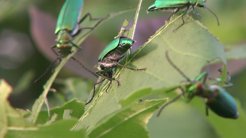 Lytta vesicatoria. Spanish fly eats the leaves of ash-tree.