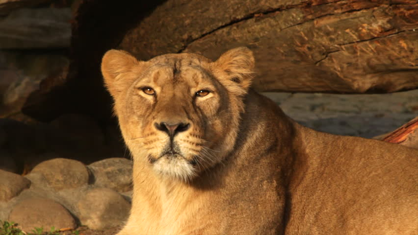 Image Gallery lioness face close up