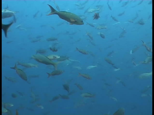 Galapagos underwater sea life - SD stock video clip