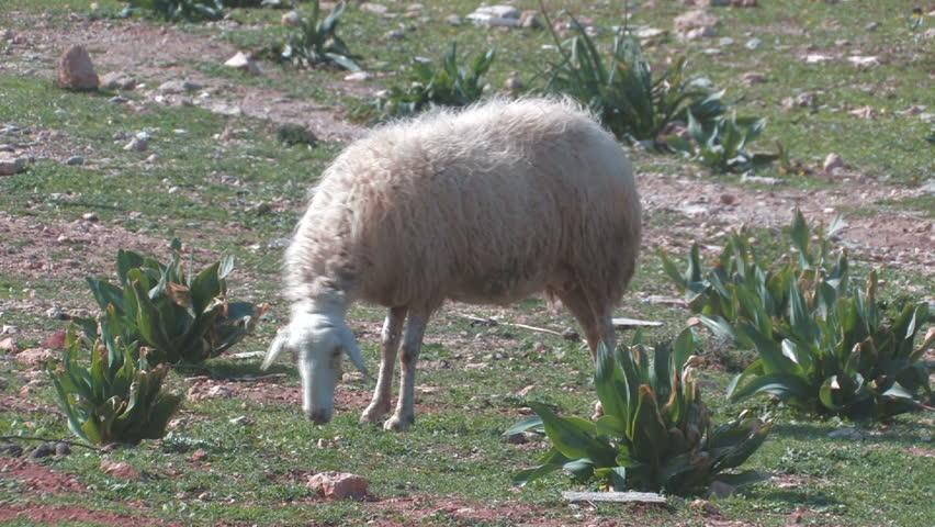 lamb grazing - HD stock footage clip