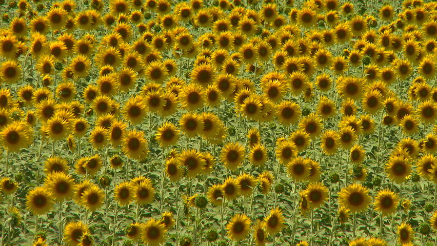 Sunflowers field swaying in the wind - HD stock video clip