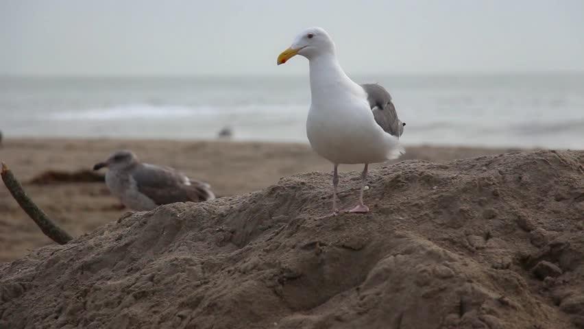 Female seagull - photo#14