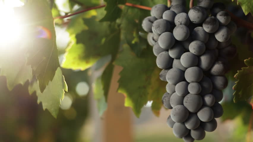 Bunches of Red Grapes Hanging in Vineyard. Rows of pinot noir grapes ready to be picked in vineyard at sunrise