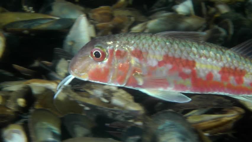 Marine fish red mullet mullus barbatus ponticus touches for Red mullet fish