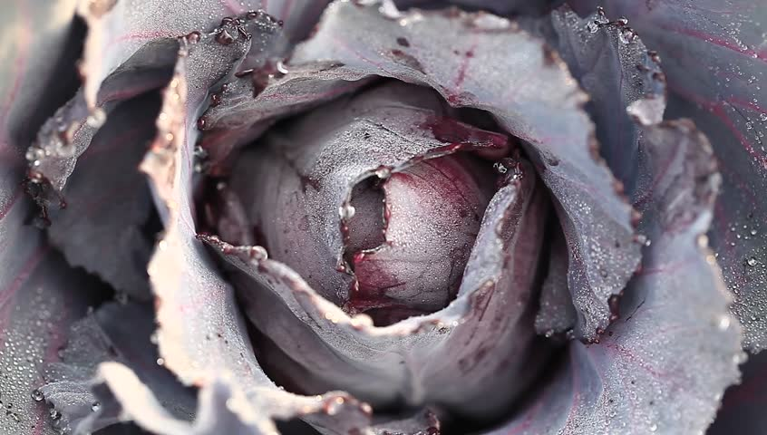 purple cabbage in the organic garden