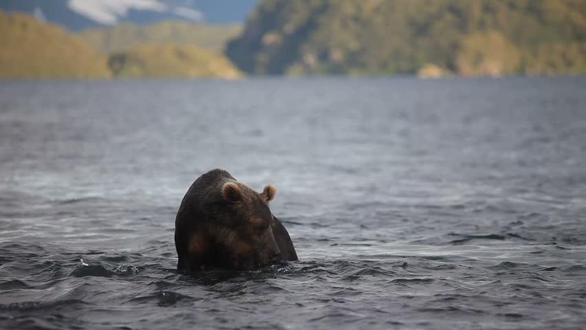 Brown bear fishing.