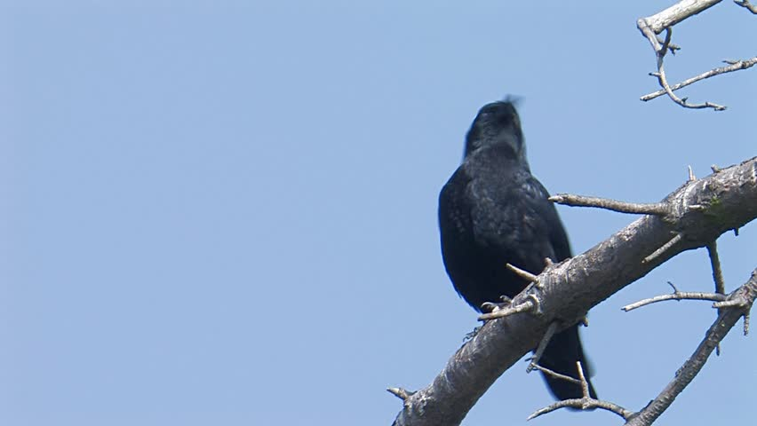 Header of American Crow