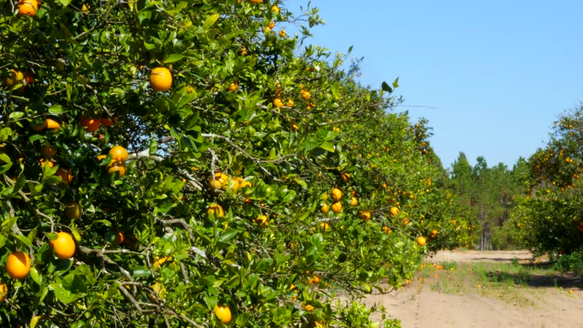 Fresh Oranges Growing On A Tree In An Orange Grove In Florida, These Oranges Are Being Grown For Orange Juice As A Citrus Crop Commercially