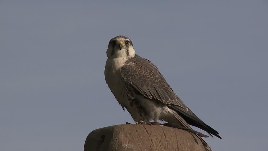 falcon - HD stock video clip