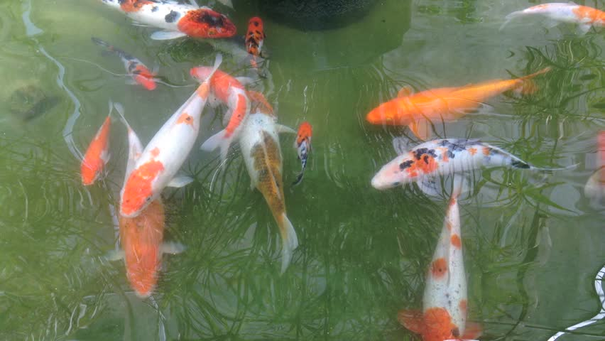 Koi fancy carp are swimming in the pond stock footage for Fancy koi fish