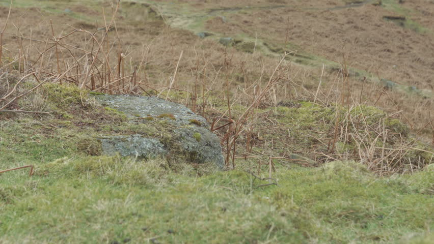 Limestone covered in Moss and Heather HD stock footage. A static ground shot of a small limestone boulder covered in green moss ans surrounded by green grass. ProRes 422.