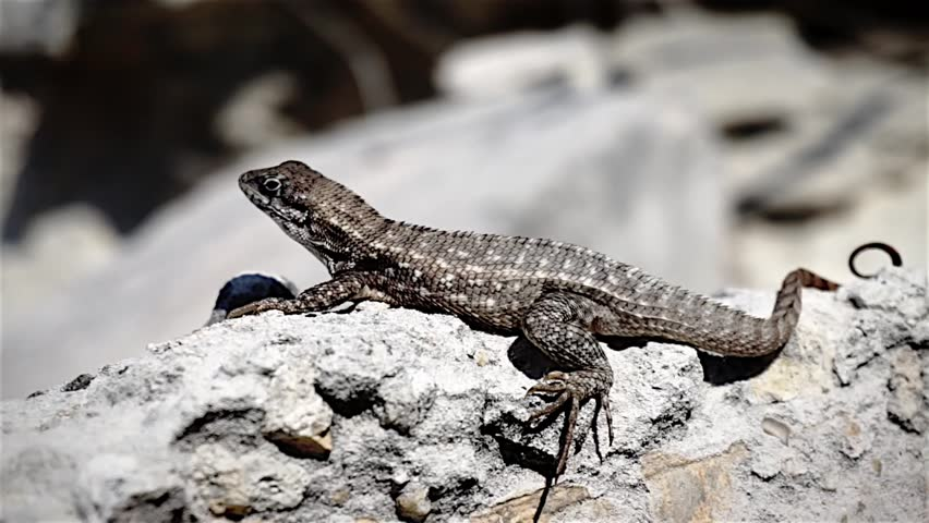 lizard on a rock close up - HD stock video clip
