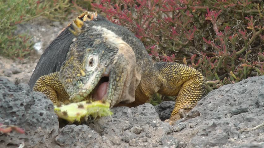 Galapagos land iguanas eating cactus, Galapagos - HD stock footage clip