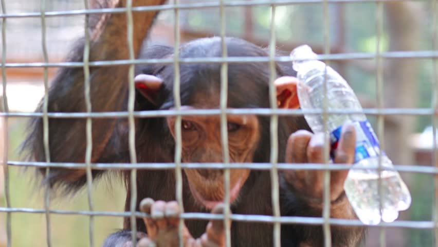 UKRAINE, YALTA - AUG 26, 2013: Monkey is drinking bottle of water on cage in zoo Skazka.