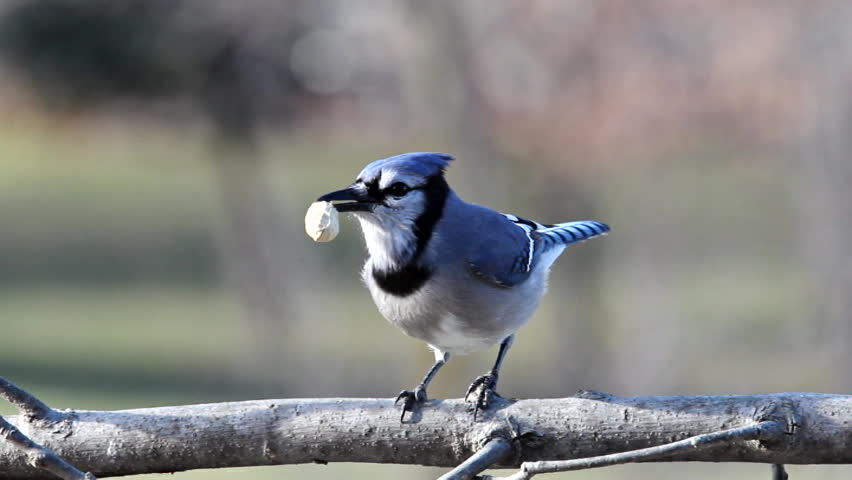A Blue Jay shelling and eating a peanut. - SD stock footage clip