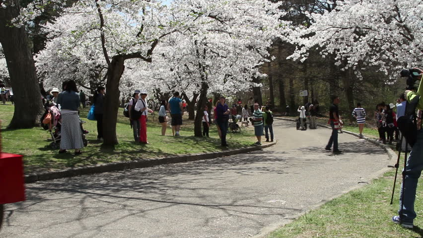 TORONTO - MAY 7: High Park tractless train moving down the Grenadier Hill with hundreds of people enjoying a beautiful spring day with cherry blossoms or sakura flowers in full bloom.  2015 footage